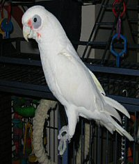 Bare Eyed Cockatoo