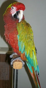 Calico Macaw