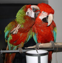 Green Wing Macaw & Calico Macaw