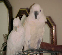 Goffin and Moluccan Cockatoos
