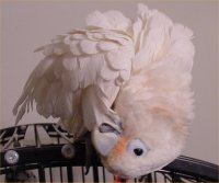 Goffin Cockatoo