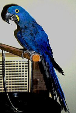 Picture of Hyacinth Macaw