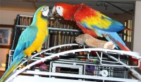 Scarlet & Blue and Gold Macaws