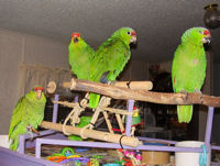 Red Lored and Lilac Crown Amazons