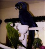 Hyacinth Macaw and Severe Macaw - parrots