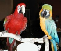 Green Wing Macaw and Blue and Gold Macaw