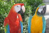 Scarlet Macaw and Blue and Gold Macaw