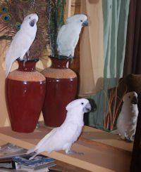 Umbrella Cockatoos