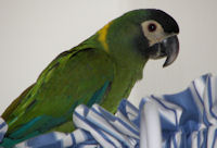 Yellow Collar Macaw